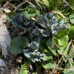 Sea Kale Young Leaves